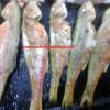 Tekir balığı nasıl yapılır-Tekir tarifi-Resimli tekir balığı…